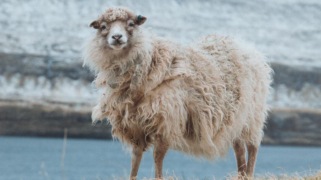 mouton dans un paysage hivernal